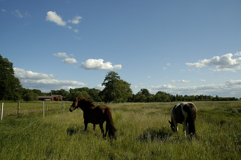 Horses on a sunny summer day in northern Germany.
