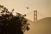 Golden Gate bird.