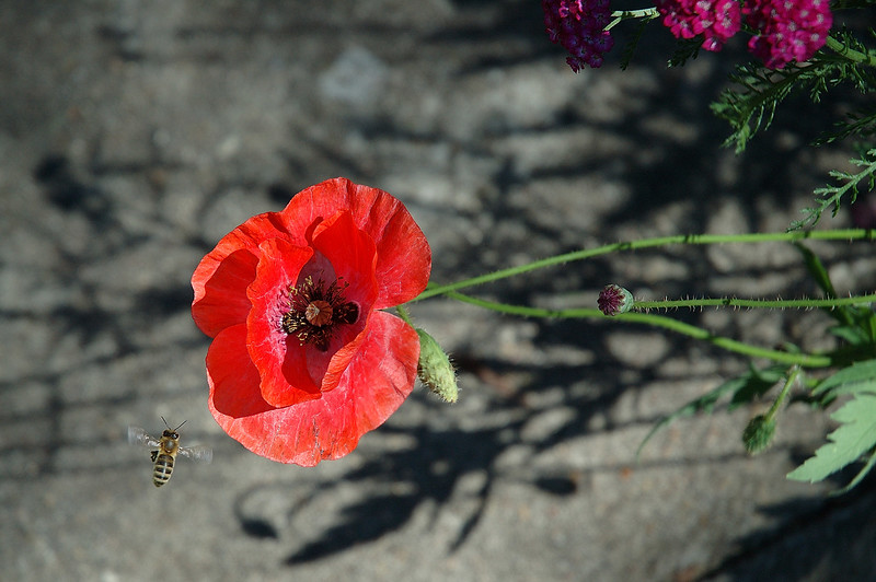 A bee approaching a corn poppy flower on a sunny summer day.