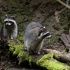 Raccoons<br /> Wildlife photography - Pictures of Animals - by professional wildlife photographer Christina Craft