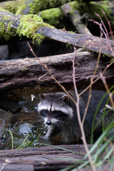 Raccoon in a river<br /> Wildlife photography - Pictures of Animals - by professional wildlife photographer Christina Craft
