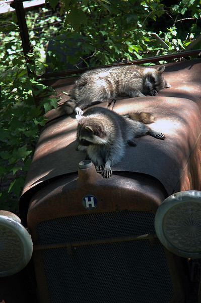 raccoons - Nature Stock Image by Professional Nature Photographer Christina Craft
