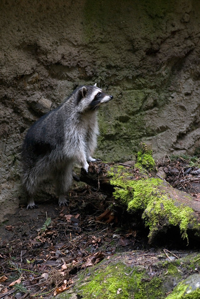 Raccoon Picture - shot vertically with enough room for text<br /> Wildlife photography - Pictures of Animals - by professional wildlife photographer Christina Craft