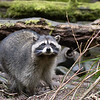 Raccoons<br /> <br /> Wildlife photography - Pictures of Animals - by professional wildlife photographer Christina Craft