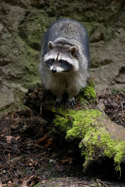 Raccoon Picture<br /> Wildlife photography - Pictures of Animals - by professional wildlife photographer Christina Craft