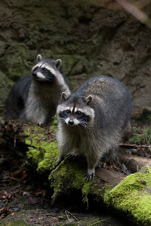 Raccoons Wildlife photography - Pictures of Animals - by professional wildlife photographer Christina Craft