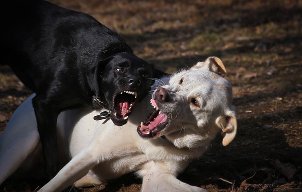 Believe it or not, these two dogs are the best of friends. They love to wrestle and gnarl at each other then walk over together and have a drink of water. Sammie is a rescue, probably an Akbash dog and Zac (the black one is a mix with black lab.