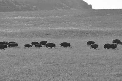 The herd moves parallel to the road in the Wichita Mountains Wildlife Refuge