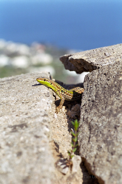 Wall Lizard in Capri, Italy