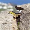 Wall Lizard in Capri, Italy