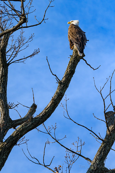 Bald Eagle in Washington, D.C.