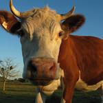 Cow in Uruguay