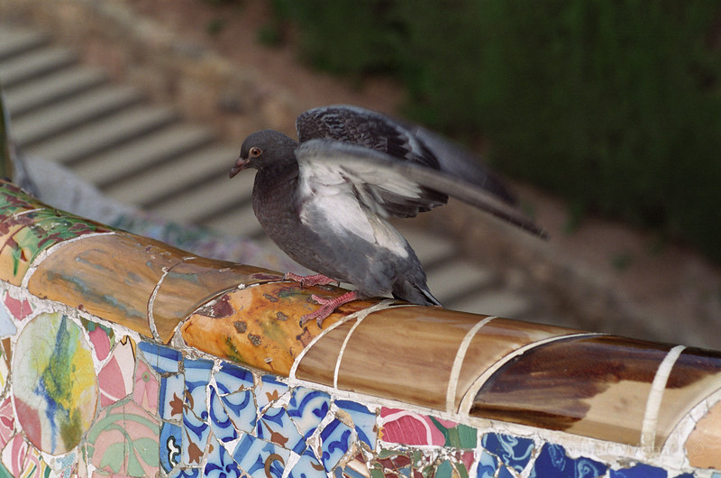 Pigeon at Parc Guell