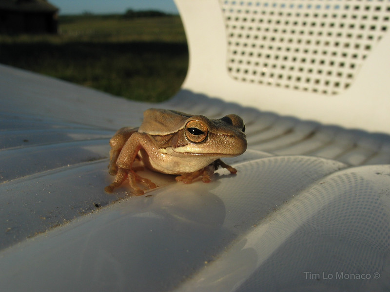 Frog on a Lawn Chair