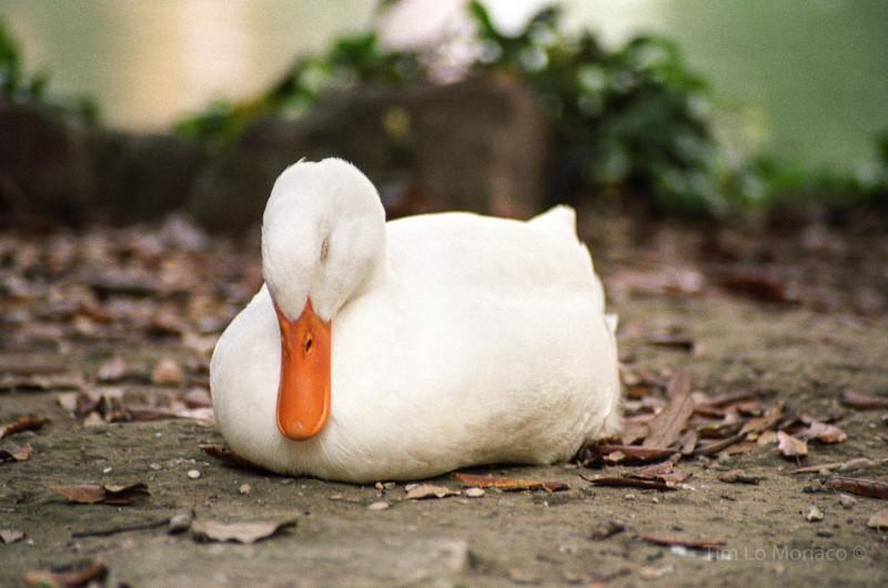 Duck Sleeping in Rome, Italy