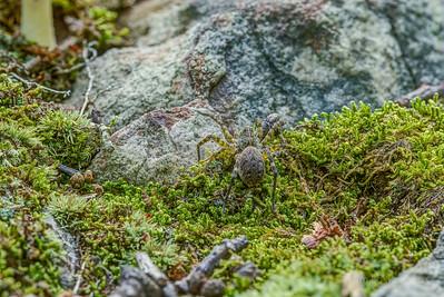 Spotted Orbweaver