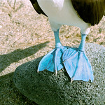 Blue-Footed Boobie Feet