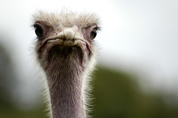 The ostrich is the largest and heaviest living bird. It is a flightless bird that can never take to the skies, so instead it's built for running. Its long, thick, and powerful legs can cover great distances without much effort, and its feet have only two toes for greater speed. <br /> <br /> Ostriches can sprint in short bursts up to 43 miles per hour (70 kilometers per hour), and they can maintain a steady speed of 31 miles per hour (50 kilometers per hour). Just one of an ostrich's strides can be 10 to 16 feet (3 to 5 meters) long—that's longer than many rooms! When danger threatens, ostriches can escape pretty easily by running away. They can also defend themselves: they have a 4-inch (10-centimeter) claw on each foot, and their kick is powerful enough to kill a lion. <br /> <br />  - Nature Stock Image by Professional Wildlife Photographer Christina Craft