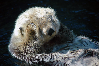 The Sea Otter (Enhydra lutris) is a large otter native to the North Pacific, from northern Japan and Kamchatka east across the Aleutian Islands south to California. The heaviest of the otters, Sea Otters are the only species within the genus Enhydra.  Hunted extensively for their luxurious fur—the densest of all mammals with up to 394,000 hairs per square centimeter— from 1741 onwards, sea otter populations were greatly reduced to the point of extermination in many parts of their historic range. By 1911 the world population was estimated to be just 1,000-2,000 individuals. Although several subspecies are still endangered, the otters have since been legally protected, and reintroduction efforts have shown positive results.   Professional Nature Photography by Christina Craft of the Nature Stock Photography Library