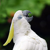 Sulphur Crested Cockatoo yawning or singing - funny animal picture funny bird - Nature Stock Image by Professional Wildlife Photographer Christina Craft<br /> <br /> The Sulphur-crested Cockatoo is a large white parrot, measuring 45cm - 50cm. It has a dark grey-black bill, a distinctive sulphur-yellow crest and a yellow wash on the underside of the wings. Sexes are similar, although the female can be separated at close range by its red-brown eye (darker brown in the male). This is a noisy and conspicuous cockatoo, both at rest and in flight. The most common call is a distinctive loud screech, ending with a slight upward inflection. Young Sulphur-crested Cockatoos resemble the adults. <br /> <br /> The Sulphur-crested Cockatoo is similar in appearance to the three species of corella found in Australia. Corellas are smaller, however, and lack the prominent yellow crest. <br /> <br /> Sulphur-crested Cockatoos, along with many other parrots, are susceptible to a widespread viral disease known as Psittacine Beak and Feather Disease (PBFD), which causes the birds to lose their feathers and grow grotesquely shaped beaks. <br /> <br /> Distribution and Habitat <br /> Sulphur-crested Cockatoos are common and familiar in Australia. Their range extends throughout the northern and eastern mainland, and Tasmania. Their popularity as a cage bird has also increased this range, as these birds either escape or are released deliberately in areas where they do not already occur. A small population has become established around Perth, Western Australia. Sulphur-crested Cockatoos are found in a variety of timbered habitats and are common around human settlements. The birds stay in the same area all year round. <br /> <br /> The species also occurs in New Guinea and the Aru Islands, and has been introduced into New Zealand and Indonesia.