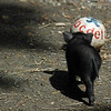 A cute baby pig (a vietnamese pot bellied pig) chases after a ball