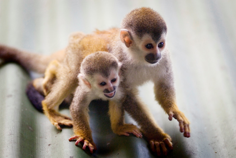 A red backed squirrel monkey with her baby (also called mono titi) at the Costa Verde Hotel in Costa Rica, Central America. These monkeys are rare and endangered with less than 1,000 left in the world. Costa Rican Wildlife photographed by a professional wildlife and nature photographer named Christina Craft.