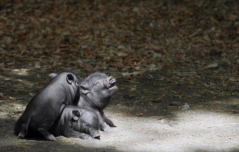 Three little piglets - vietnamese pot bellied pigs - farm animals
