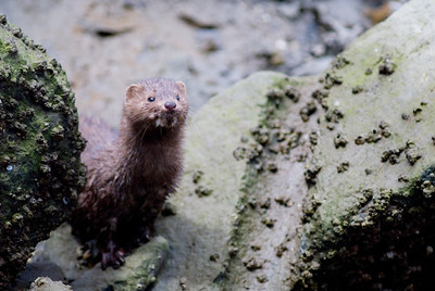 Animal Stock Photography - Mink