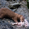 mink eating fish guts - Stock Photo by Nature Photographer Christina Craft