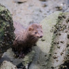 Mink - Stock Photo by Nature Photographer Christina Craft