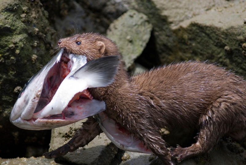 mink with a fish head - Stock Photo by Nature Photographer Christina Craft