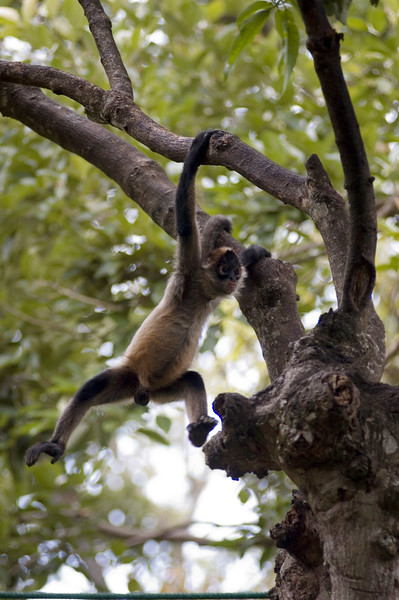 Wild spider monkey hanging from a tree - photographed by Professional Wildlife and Nature Photographer - for the nature and wildlife stock photography picture library