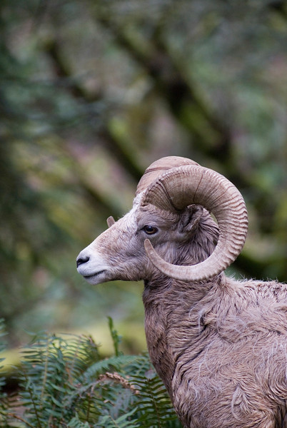 Bighorn sheep<br /> Wildlife photography - Pictures of Animals - by professional wildlife photographer Christina Craft