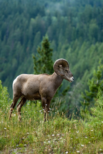 A profile of a bighorn sheep - stock photo shot vertically with enough room for text (suitable for advertisements or magazines & brochures). Shot by professional wildlife photogrpaher Christina Craft.