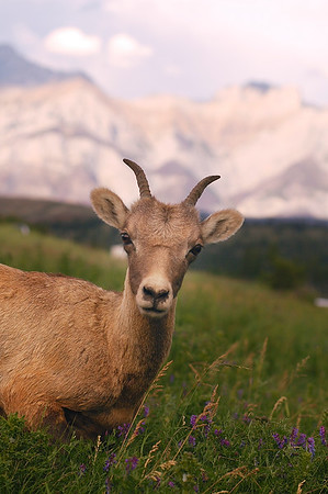 Bighorn sheep with mountains in behind. Standing in an alpine meadow