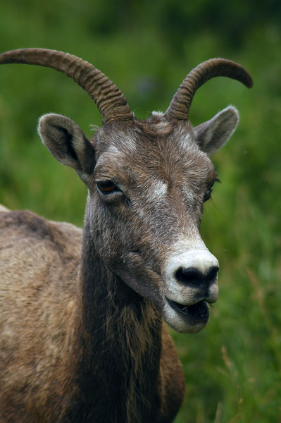 Bighorn sheep closeup Rocky Mountain landscape mountains scenic landscape - Photograph by professional nature stock photographer Christina Craft