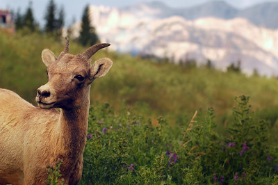 Bighorn sheep profile Rocky Mountain landscape mountains scenic landscape - Photograph by professional nature stock photographer Christina Craft