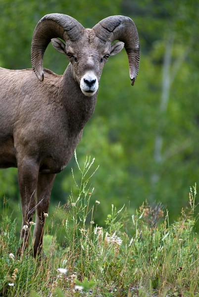 Bighorn sheep - closeup by wildlife photographer christina craft - stock image shot vertically