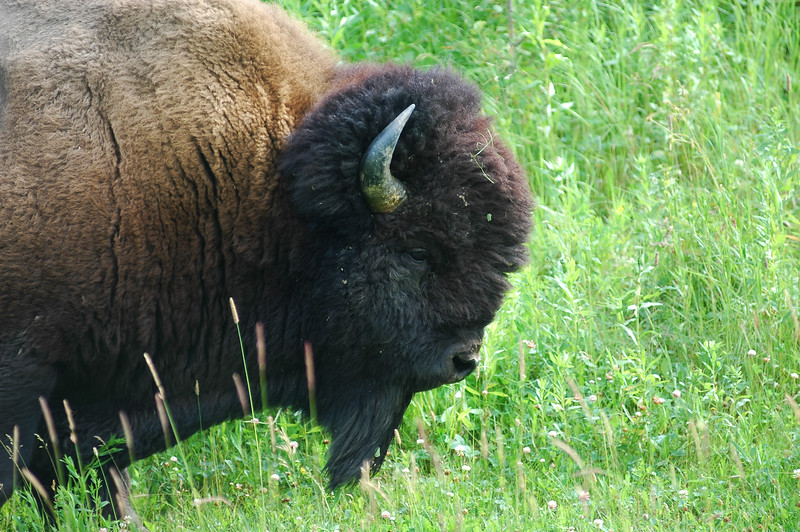 bison Stock Photo by Nature Photographer Christina Craft