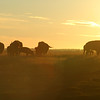 Bison herd at sunrise or sunset dusk or dawn silhouette with lens flare