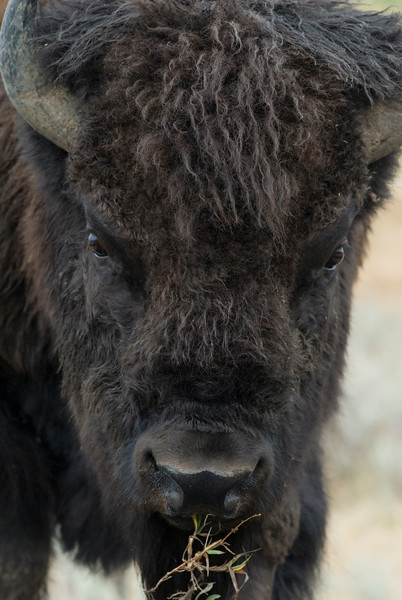 Closeup of a bison eating grass