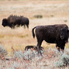 Bison in a field / meadow - American Buffalo