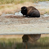 Bison - reflection in a lake -