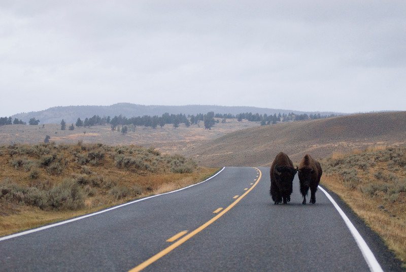 Two bison approaching on a road - wildlife photography