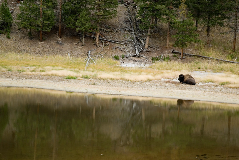 A bison sitting next to a lake - reflection in the water. - Nature Stock Photography by Christina Craft
