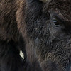 Bison Closeup - Vertical photo showing detail of bison's profile