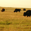 Bison buffalo in a field at sunrise or sunset - Nature Stock Image by Professional Nature Photographer Christina Craft