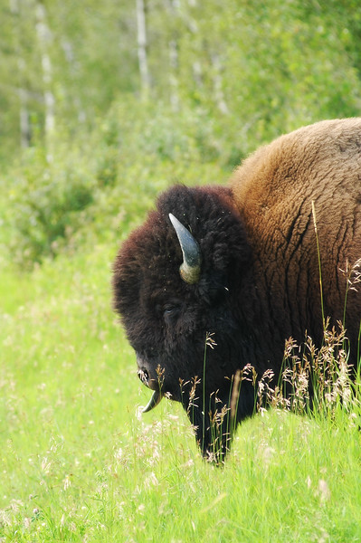 bison - Stock Photo by Nature Photographer Christina Craft