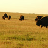 Bison herd - Stock Photo by Nature Photographer Christina Craft