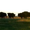 A herd of bison at sunrise - partially silhouetted - Stock Photo by Nature Photographer Christina Craft
